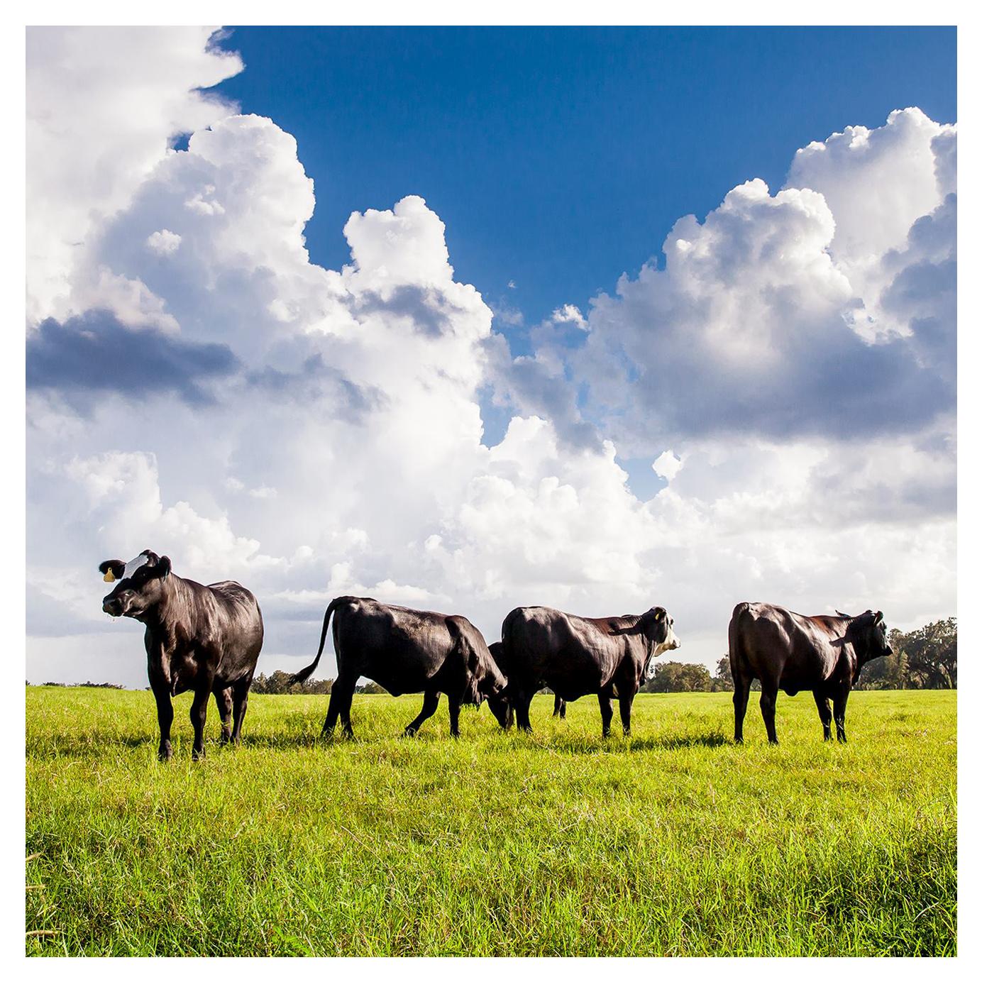 4 beefs in a field